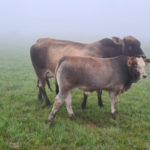 JetTrack Cattle on the farm with GPS Tracker Misty Conditions